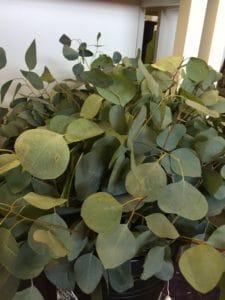 Eucalyptus $18.95-23.95 per bunch