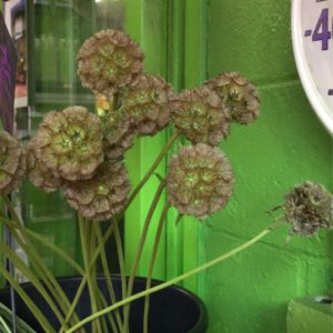 Dried Scabiosa Pods